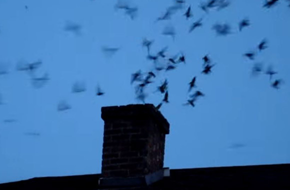 What To Do About Birds In The Chimney