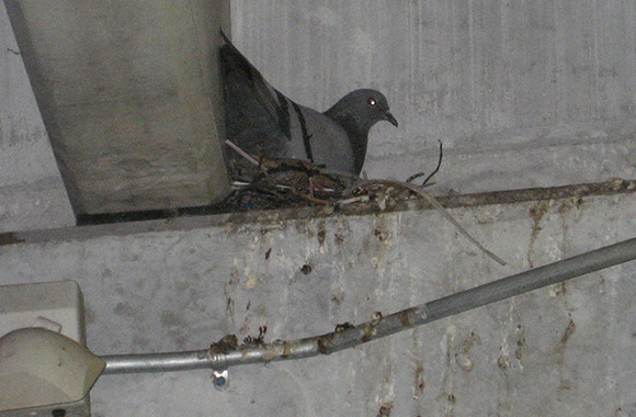Do mothballs or ammonia help repel birds?