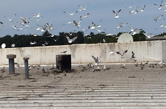 Seagull removal - Sea gull control methods